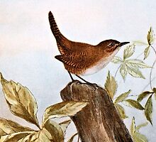 House Wren by goldenmenagerie
