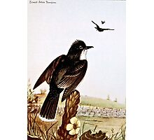 Kingbirds Vintage Illustration Photographic Print