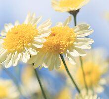 Dreamy Sunlit Marguerite Daisy Flowers Against Blue Sky by Natalie Kinnear