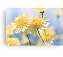 Dreamy Sunlit Marguerite Daisy Flowers Against Blue Sky Canvas Print