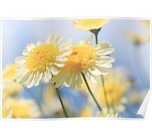 Dreamy Sunlit Marguerite Daisy Flowers Against Blue Sky Poster