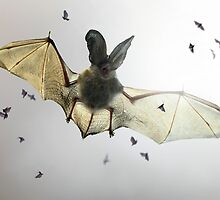 Hungry bat by jimmy hoffman