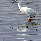 Snowy Egret #2 by hatterasjack