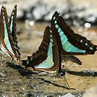 Thirsty Butterflies, Tully Gorge by jasondean