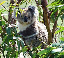 Wild Koala by Kayleigh Walmsley
