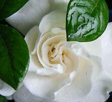 Gardenia Kissed with Rain by shimschoot