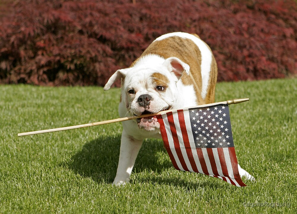 Yankee Doodle Doggie by caqphotography