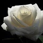 White White Rose by Vitta