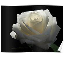 White White Rose Poster