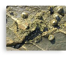 mussels, barnacles, limpets, oh my! (Seafield Beach) Canvas Print