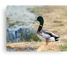Male Mallard Duck Canvas Print