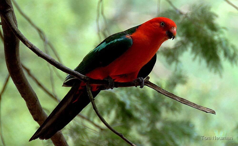 Australian King Parrot II by Tom Newman