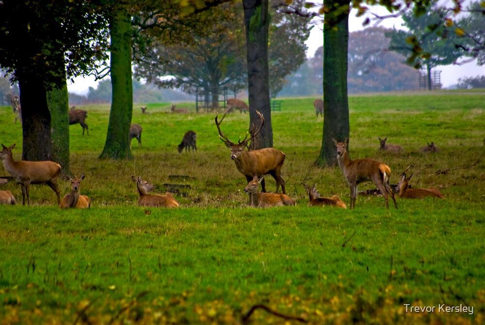 Woodland Scene - Red Deer by Trevor Kersley