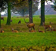 Woodland Scene - Red Deer by Trevor Kersley
