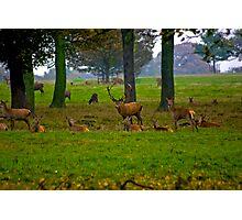 Woodland Scene - Red Deer Photographic Print