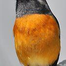 Daurian Redstart by Tony Wong