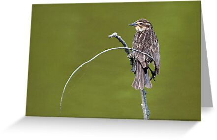 Female Red -Winged Blackbird by KathleenRinker