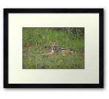 Lazy jackal cub Framed Print