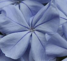Plumbago Blossoms by ElyseFradkin