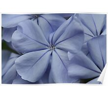 Plumbago Blossoms Poster