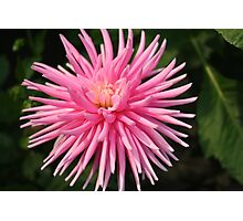 Pink Spiky Dahlia Photographic Print