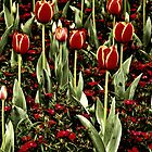 Tulips by houprophoto