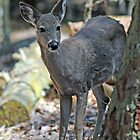 Whitetail by ewersphoto