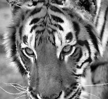 Female Amur Tiger by mrshutterbug