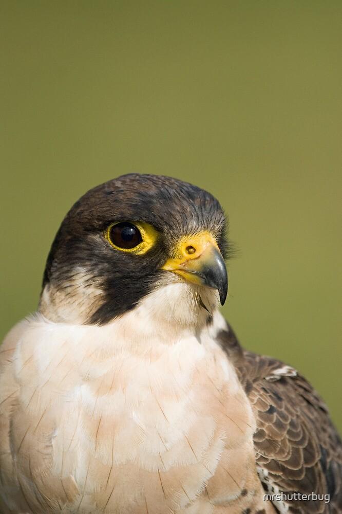 peregrine falcon by mrshutterbug