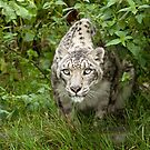 Snow Leopard by mrshutterbug