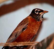 American Robin by Larry Trupp