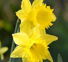 Daffodil Couple by pyettphoto