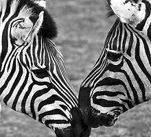 Zebras by David Sumner