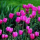 Tulips..... by DaveHrusecky
