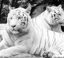 White Siberian Tigers T/shirt Sticker