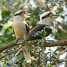 Laughing Kookaburras by byronbackyard