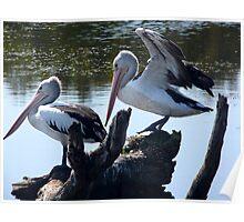 Wetland Pelicans Poster