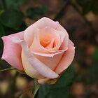 Rose at Iron Bank by Stephen Barnett