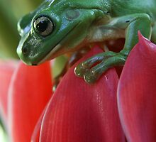Green tree frog on red ginger flower by Anna Koetz