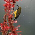 Yellow-bellied sunbird by Anna Koetz