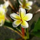 White Yellow Frangipani by Keith G. Hawley