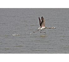 juvenile Greater Flamingo taking off Photographic Print