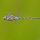 Migrant Hawker dragonfly in flight by Hugh J Griffiths