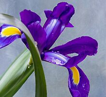Shy Iris Peeking Out From Behind An Iris Leaf by Diane Schuster