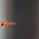 wasp in flight by dmaxwell