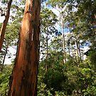 """Karri Forest"" South Western Australia by wildimagenation"