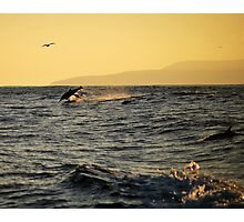 Leaping dolphin in the Pacific Photographic Print