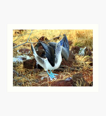 Blue-footed Booby: Mating Dance Art Print