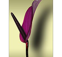 Anthurium Lily by MoGeoPhoto
