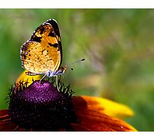 Pearly Crescentspot Butterfly Photographic Print